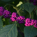 Beautyberry up close