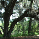 The Wedding Oak at Kanapaha Gardens in Gainesville Florida