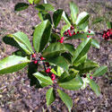 Leaves and berries of Nellie R. Stevens holly