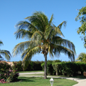 Palm in a front yard