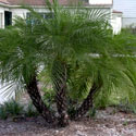 Clump of pygmy date palms