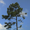 A pine tree set against a blue sky