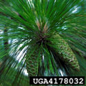 Longleaf pine foliage and green cones