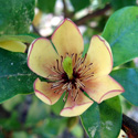 Banana shrub flower