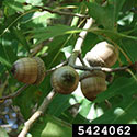 Acorns of Shumard oak