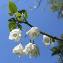 Flowers of the silverbell tree
