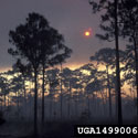 A pine stand in Big Cypress National Preserve