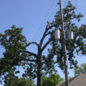 A too-tall tree planted under power lines