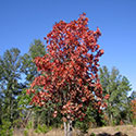 Turket oak in fall with red leaves