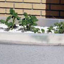 Potato plants growing in perlite