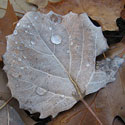 Fallen leaf with dew