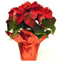 A gift poinsettia in red foil