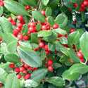 Palatka holly berries