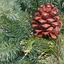 Closeup of a pinecone on a swag of evergreen
