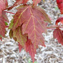 Leaves of red maple