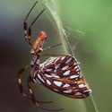 banana spider feeding on butterfly