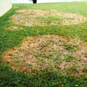 Lawn suffering from large patch fungus