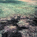 Example of lawn with take-all root rot