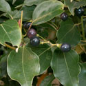 Closeup of camphor leaves and black berries