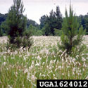 Cogongrass infestation