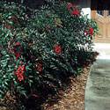 Nandina growing in front yard landscape