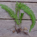 Invasive sword fern photo, Hernando Chapter of the Florida Native Plant Society