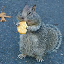 A fat squirrel munching on a Ritz cracker