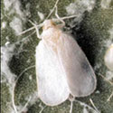 Adult whitefly