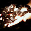Hands holding a king snake