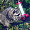Photo of raccoon getting into bird feeder by Nicole Remo