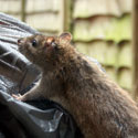 Rat trying to get into a garbage bag