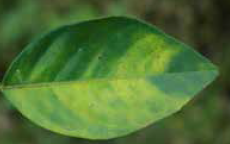Foliage of a citrus tree affected by citrus greening
