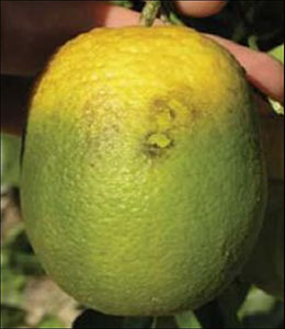 A citrus fruit affected by HLB