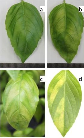 one basil leaf is green and healthy and then four photos of a similar basil leaf progressively getting yellow from downy mildew