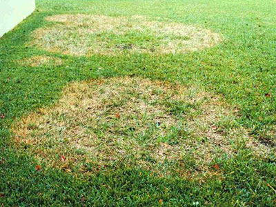 Large patch leaves a large section of dead grass