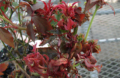 A rose plant infected with RRV