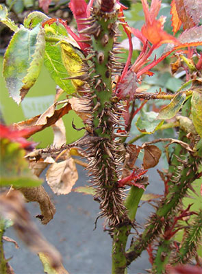 Unusually large amount of thorns is another symptom of RRV