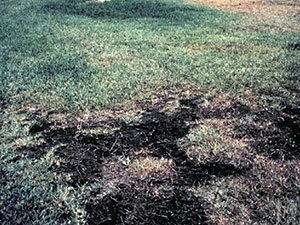 A lawn ruined by take-all root rot