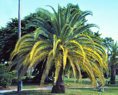 A magnesium and potassium deficient palm with yellowing fronds