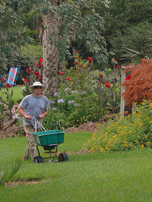 Man using a rotary broadcast style ferilizer on lawn surrouned by flowerbeds