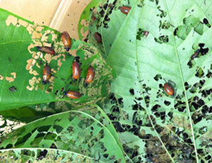 Air potato beetles on leaves
