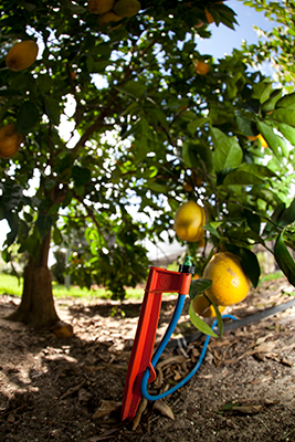 A microirrigation line staked next to a lemon tree
