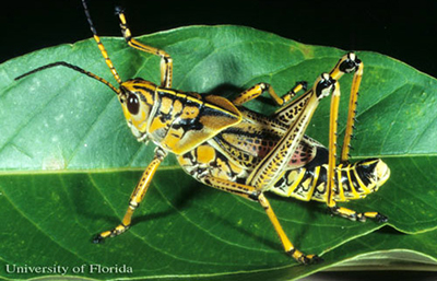 Yellow and black adult grasshopper