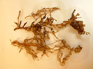 Knot galls on roots from nematodes