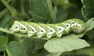 A very large green, striped caterpillar with a pointy horn-like appendage