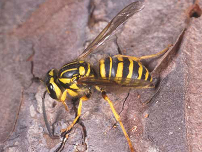 yellow jackets gardening solutions university of florida