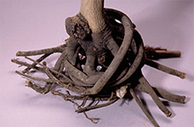 A small tree's roots all twisted around the base of the plant and not spread out as they should be