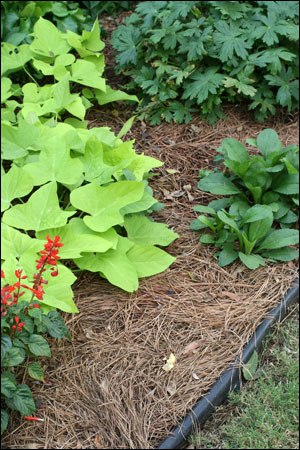 A bed mulched with pine straw