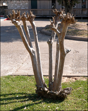 Over-pruned crapemyrtle