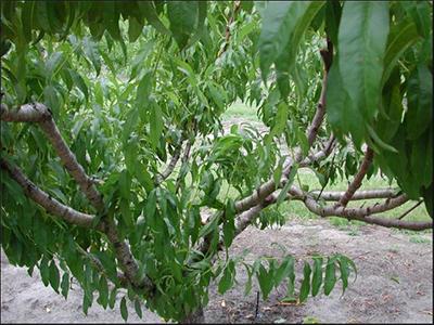 Pruning mature fruit trees